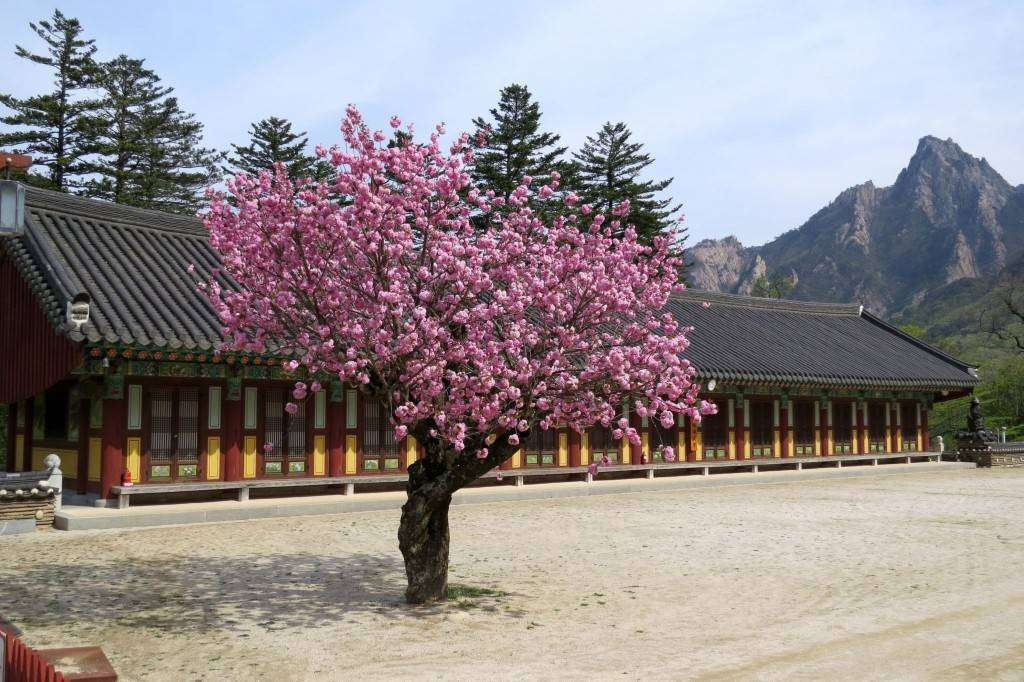 Temple and cherry blossom
