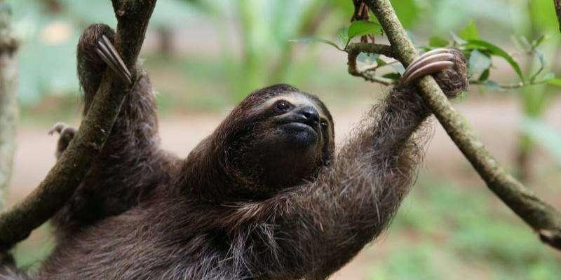 costa-rica-sloth-Bradford-Duplisea