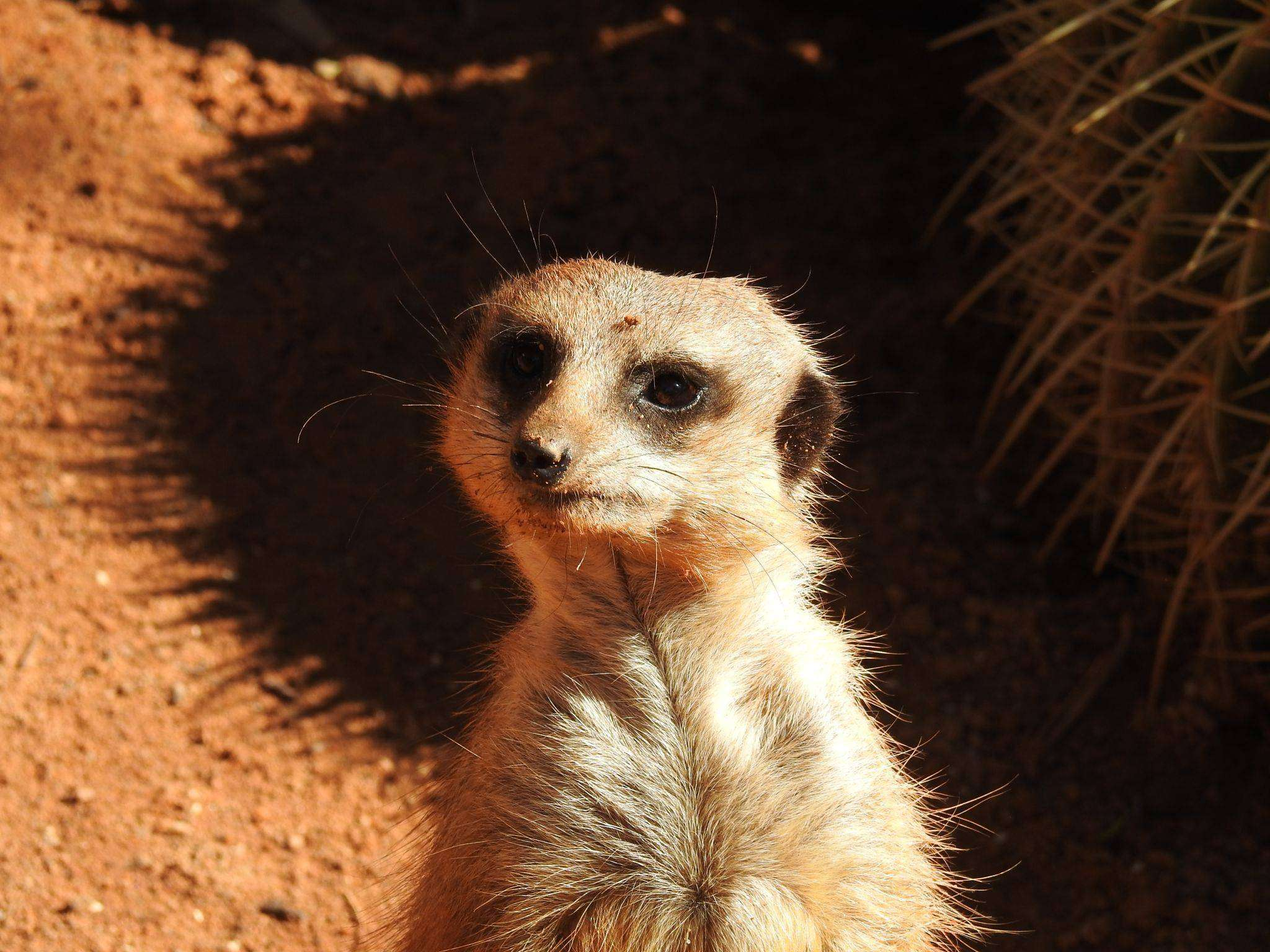 Adelaide Zoo Meerkat Supporters Peregrine Travel Centre