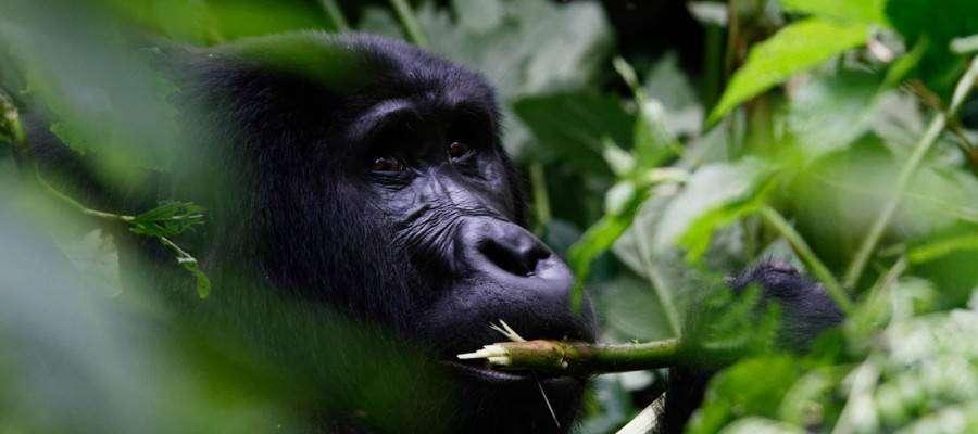 Gorilla-trekking-Rwanda-Ronald-Woan
